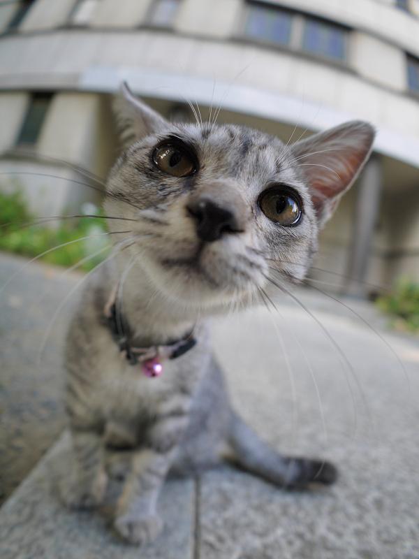 興味が爆発したサバトラ仔猫2
