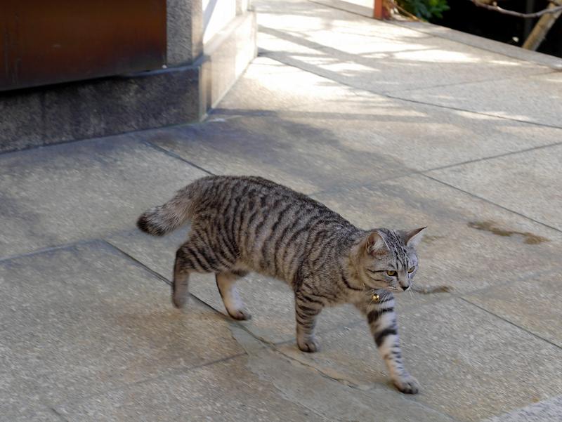 歩いてるサバトラ猫2