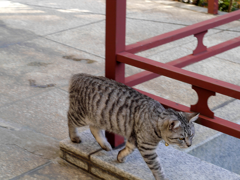 歩いてるサバトラ猫3