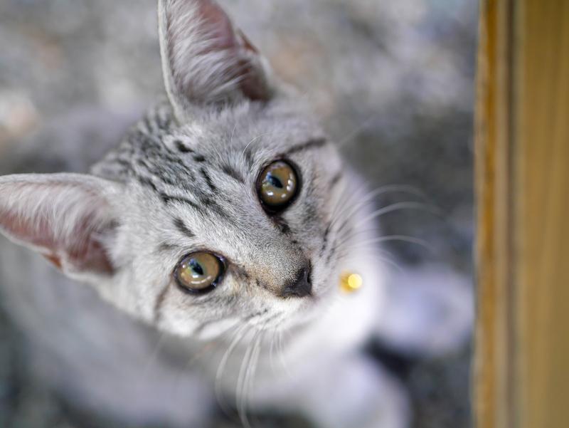 下から見上げるサバトラ仔猫4