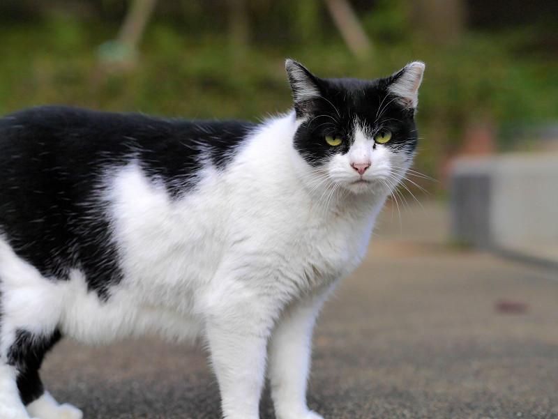 視線が合った白黒猫1