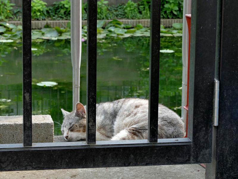池のすぐ横で寝ている薄い三毛猫1
