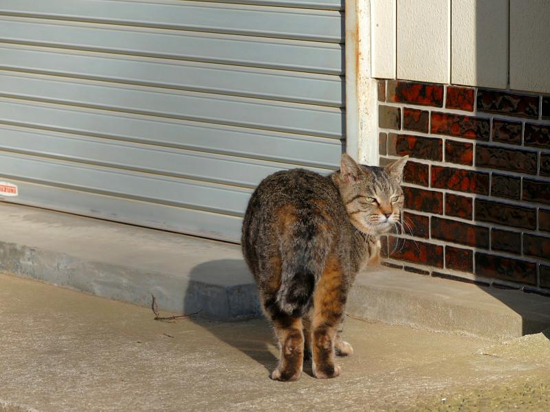 参道で振り返るキジトラ猫1