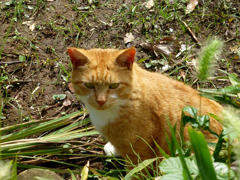 土の上から睨む茶トラ猫1