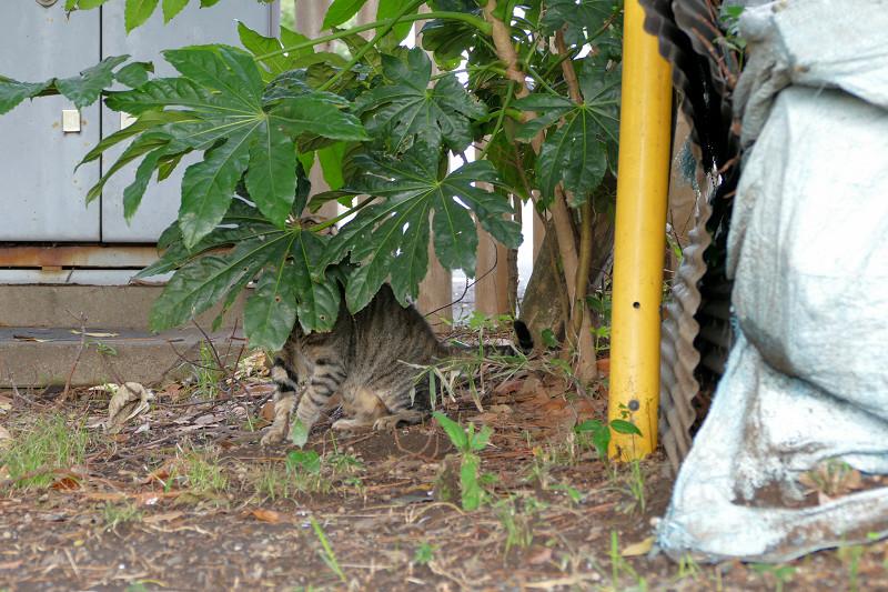 八手の葉っぱに隠れてるキジトラ猫2