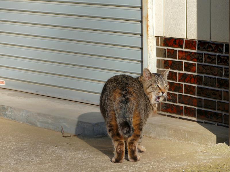 参道で振り返るキジトラ猫2