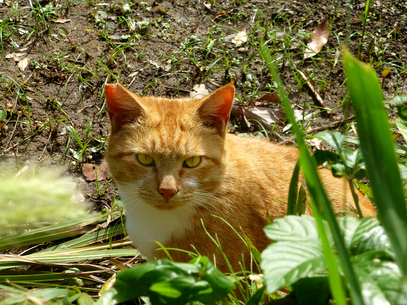 土の上から睨む茶トラ猫2