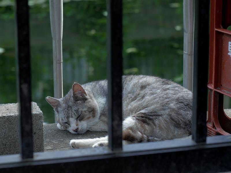 池のすぐ横で寝ている薄い三毛猫2