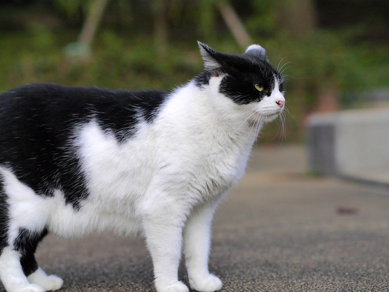 視線が合った白黒猫3