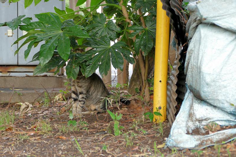 八手の葉っぱに隠れてるキジトラ猫3
