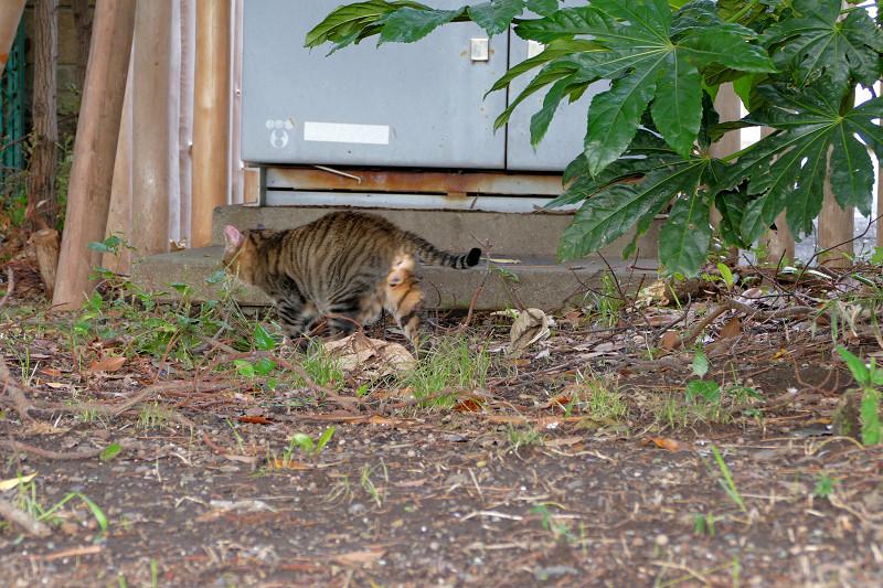 八手の葉っぱに隠れてるキジトラ猫4