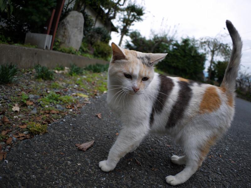 目の前の薄三毛猫1
