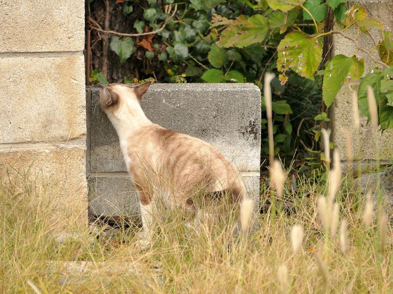 ブロックを越える母さんシャム猫1