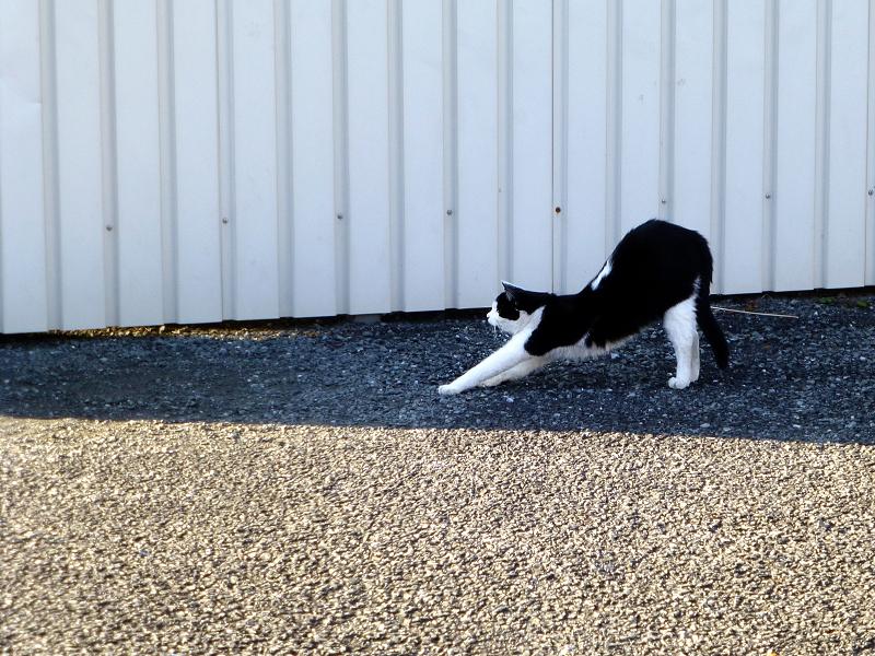 前伸びをする黒白猫1