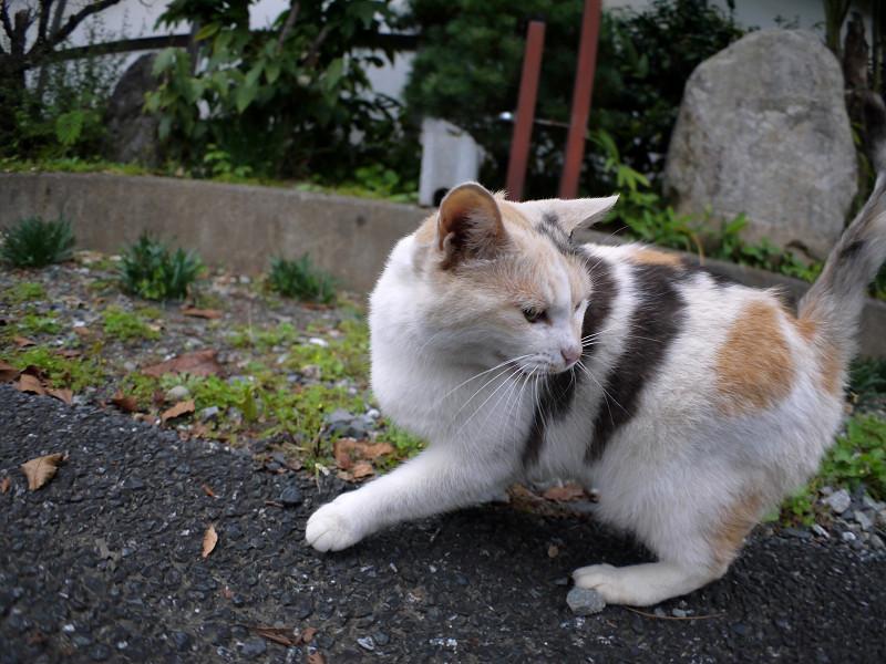 目の前の薄三毛猫2