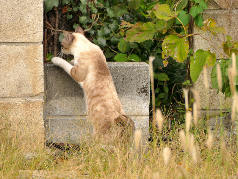 ブロックを越える母さんシャム猫2