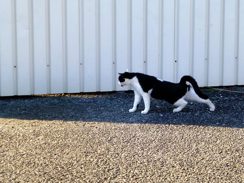 前伸びをする黒白猫2