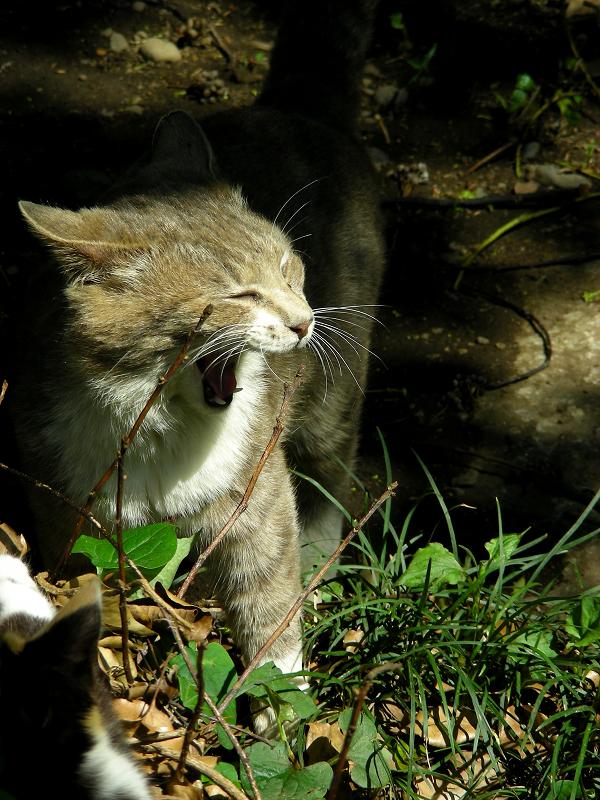 日向で欠伸をするキジ白猫