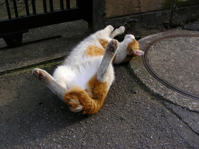 ゴロゴロと転がる茶白猫1