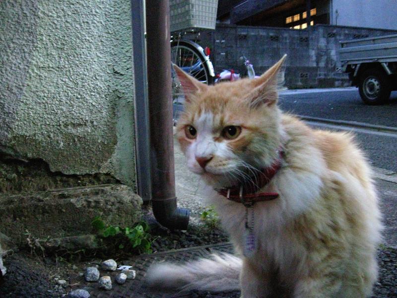 お年寄りな茶白猫1