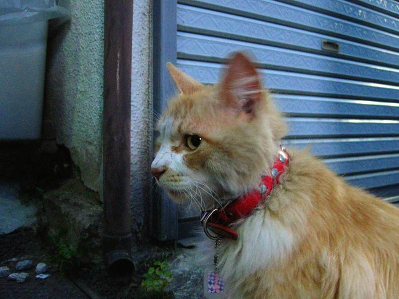 お年寄りな茶白猫2