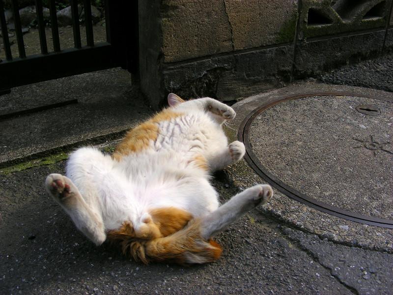 ゴロゴロと転がる茶白猫4