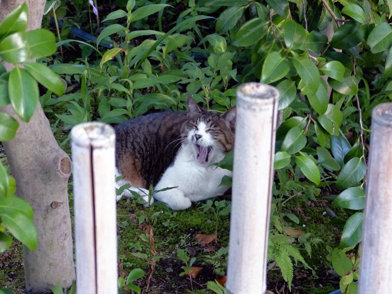 竹柵の向こう側のキジ白猫1