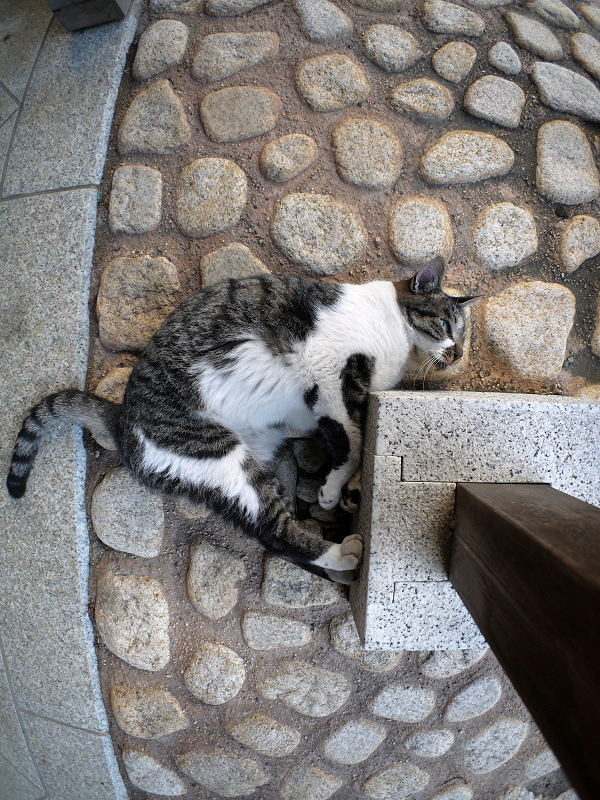 石タイルとキジ白猫1