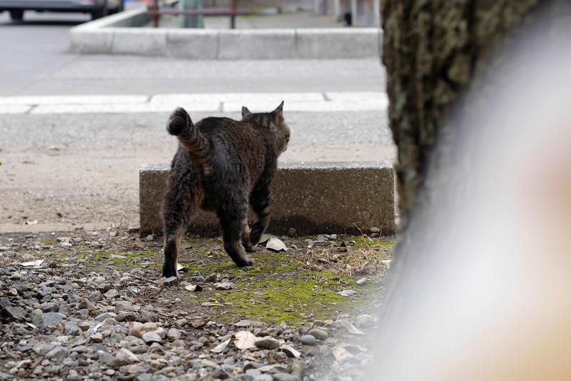 縁石へ向かい乗ったキジトラ猫1
