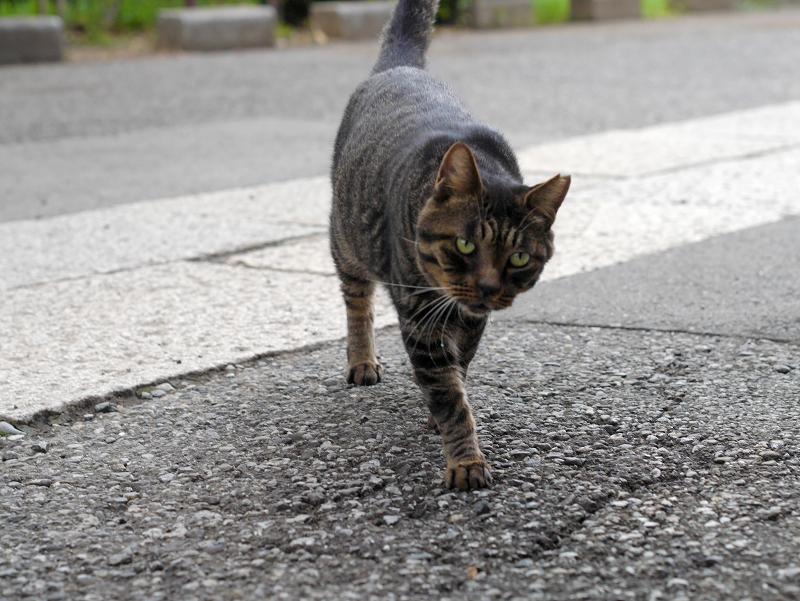 近寄るキジトラ猫1