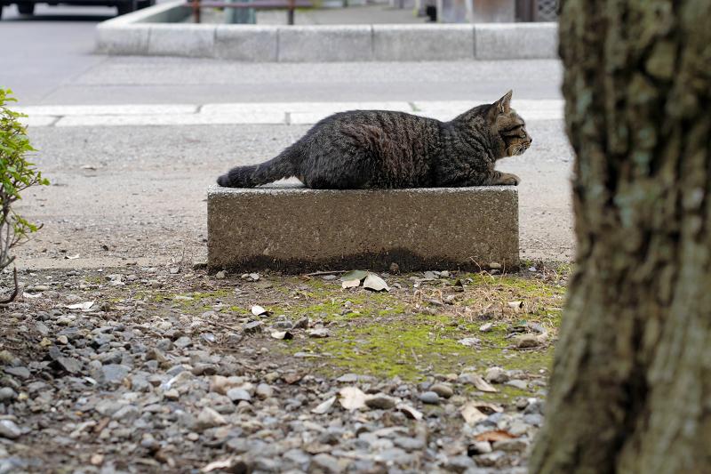 縁石へ向かい乗ったキジトラ猫2