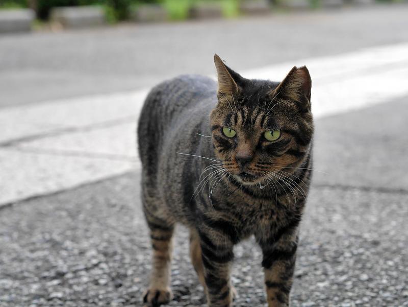 近寄るキジトラ猫2