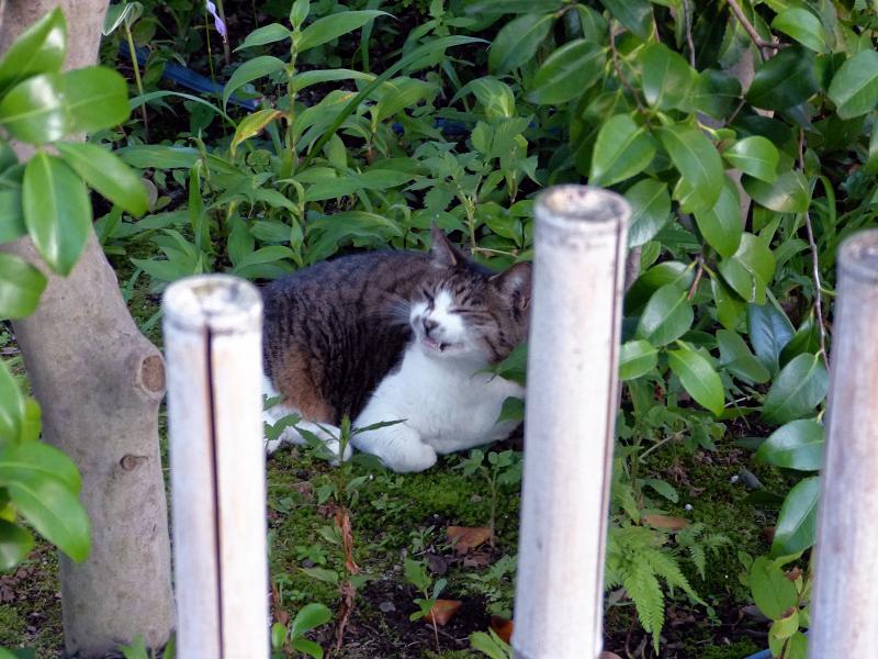 竹柵の向こう側のキジ白猫3