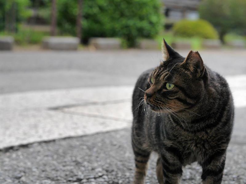 近寄るキジトラ猫3
