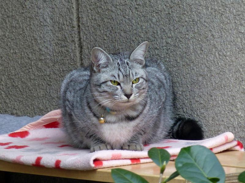 サブトンに座ってるサバトラ猫1