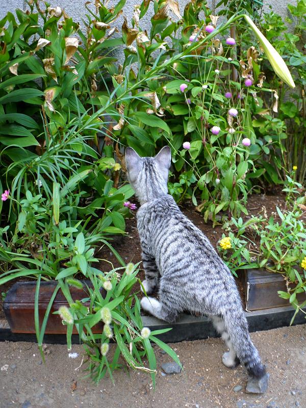草むらで遊ぶサバトラ仔猫2