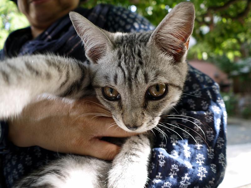 抱き上げたサバトラ仔猫1