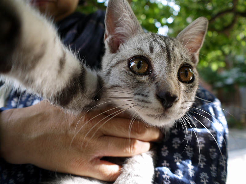 抱き上げたサバトラ仔猫2