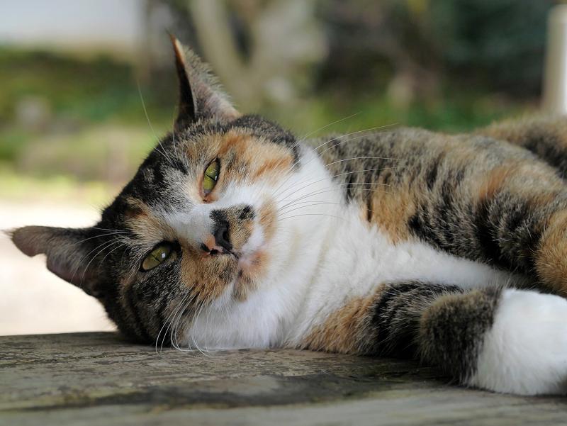 ベンチで眠る三毛猫1