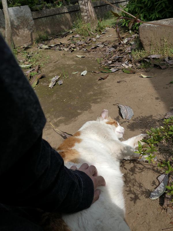 横たわる白茶猫を触る1