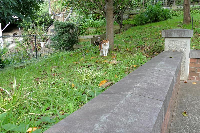 公園の草むらの三毛猫1