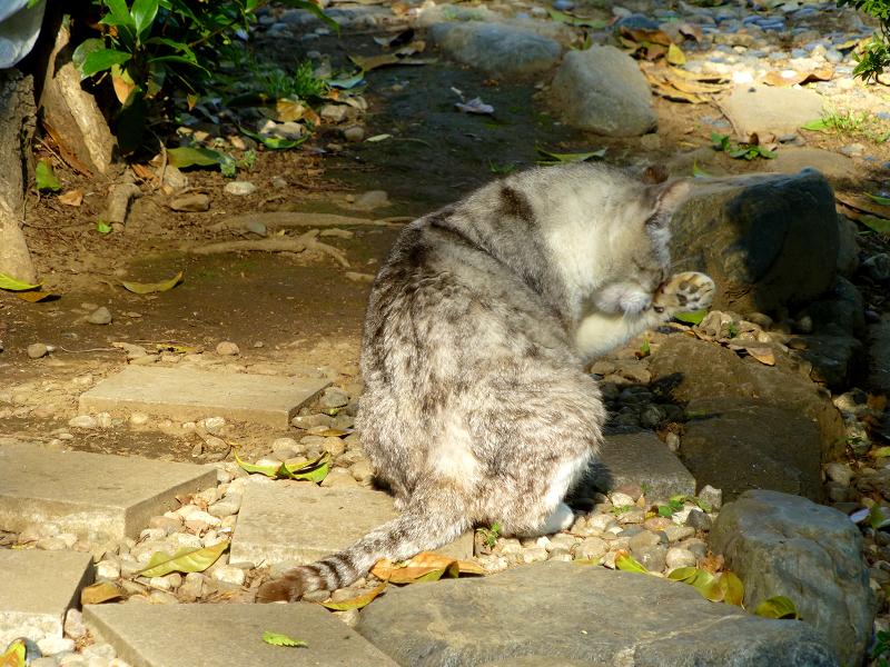 木漏れ日で毛づくろいする薄い三毛猫1