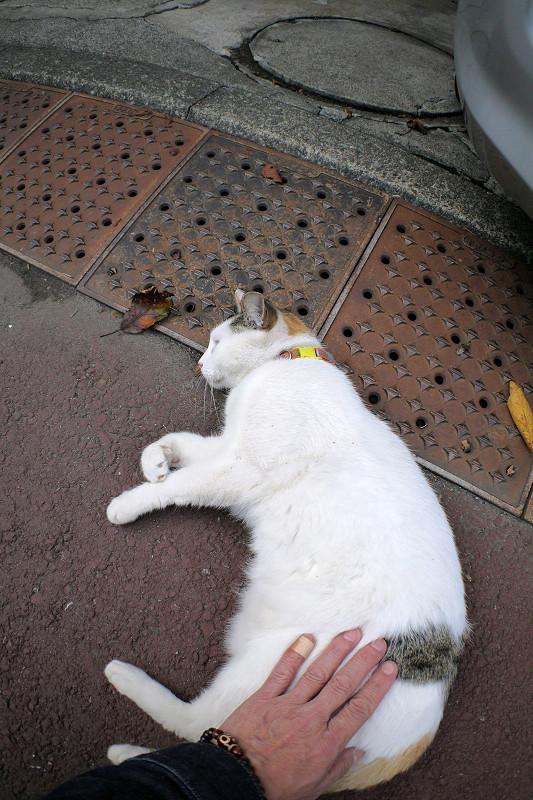 触られ続ける薄三毛猫2