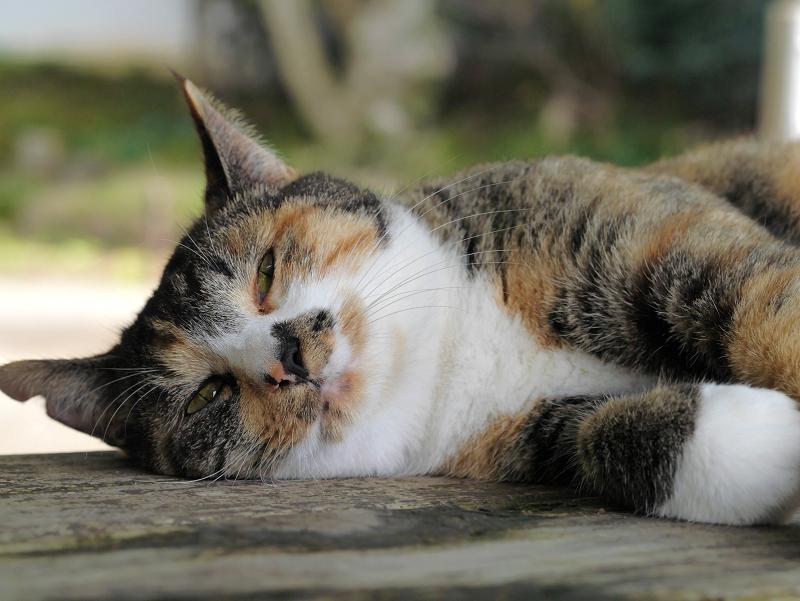 ベンチで眠る三毛猫2