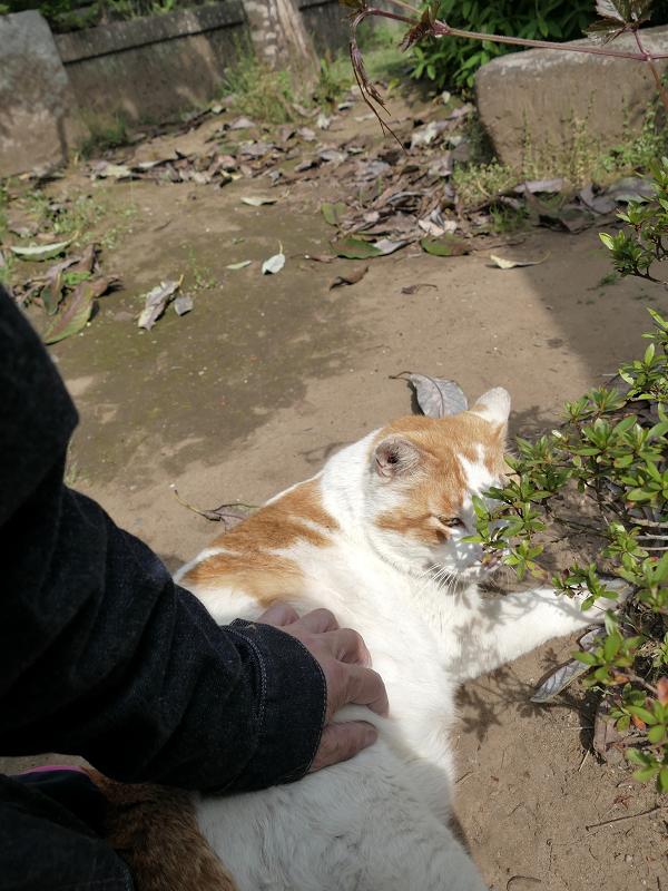 横たわる白茶猫を触る2