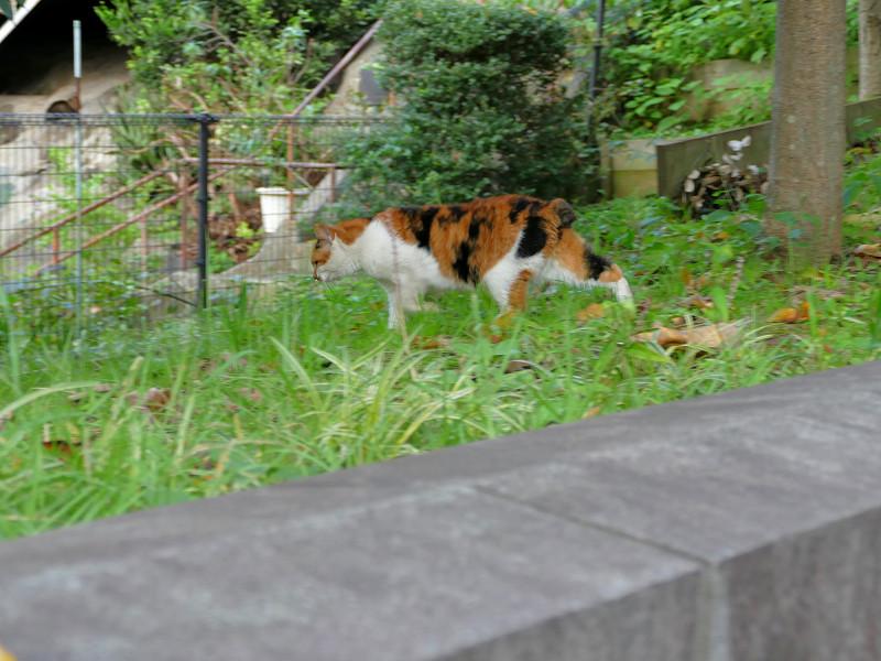 公園の草むらの三毛猫2
