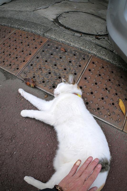 触られ続ける薄三毛猫3