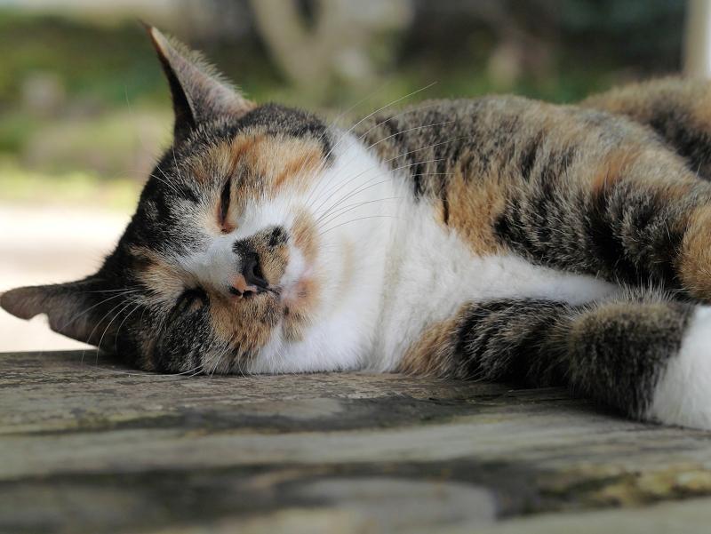 ベンチで眠る三毛猫3