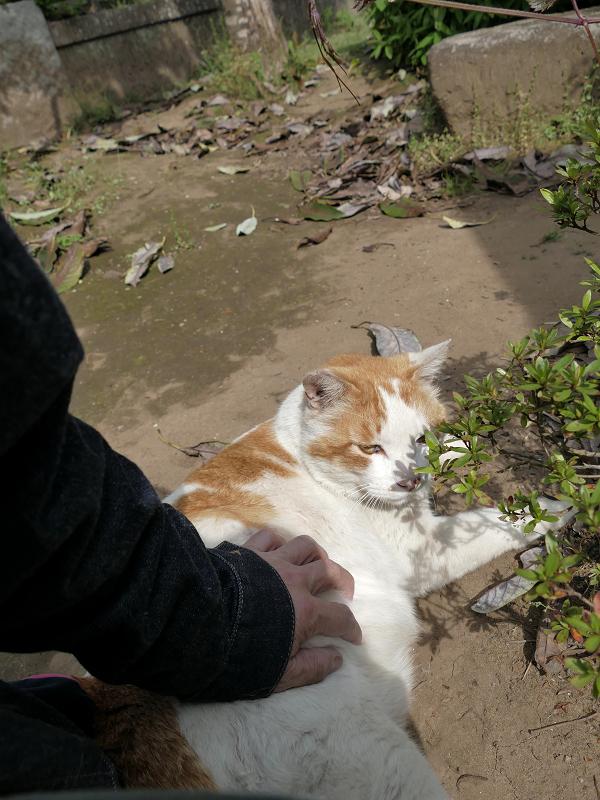 横たわる白茶猫を触る3