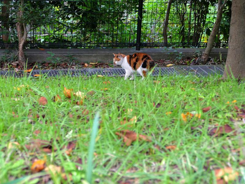公園の草むらの三毛猫3